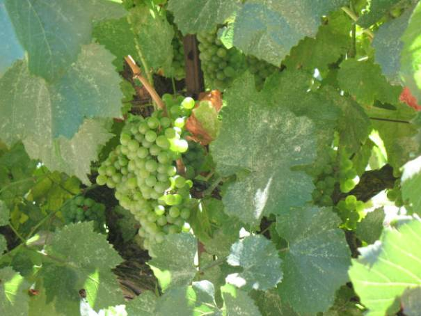 Wine grapes in progress.