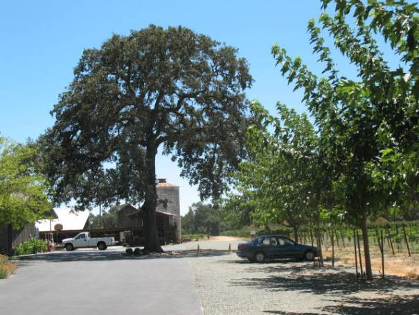 The Heritage Oak