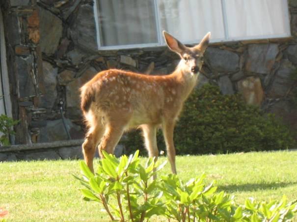 Youthful deer.