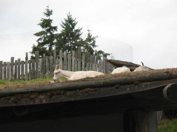Roof Goats!