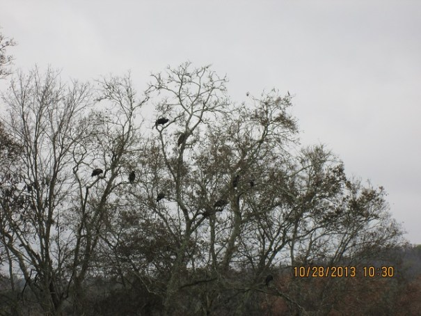 Turkey Vultures.  There were about 20 more on the ground and then we saw the dead deer.