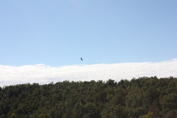 Edie kept thinking these were eagles.  Turkey vultures.