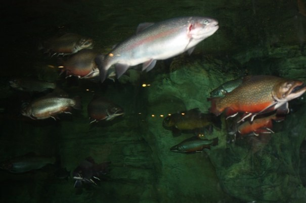 Mostly Trout in the huge aquarium at the Pro Bass Shop.