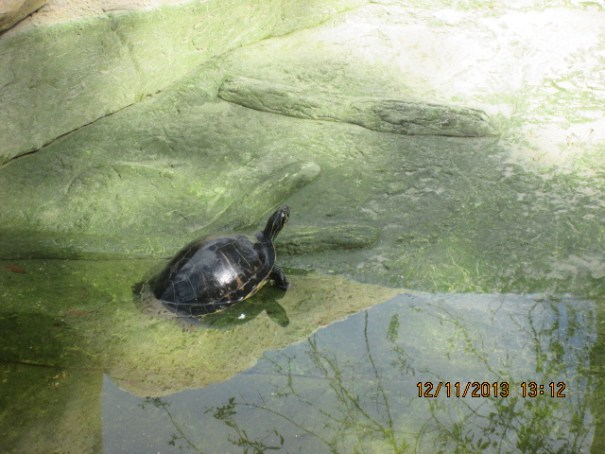Turtle in the alligator pit, hope they are not feeding the alligators.