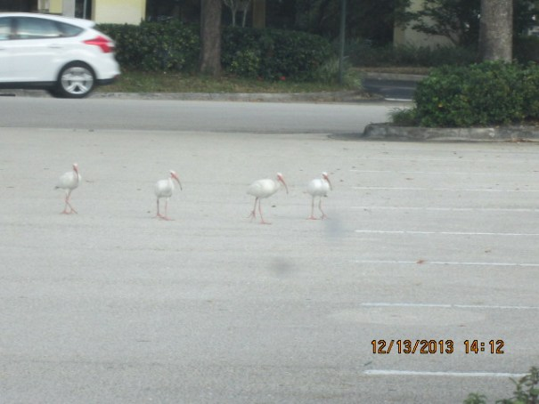 Four White Ibis on scarp patrol in the parking lot.