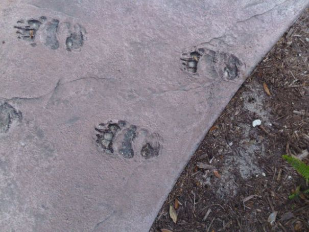 Florida Bear Paw Prints in the side walk, I hope they are fake and no bear was harmed in the making of these artifacts.