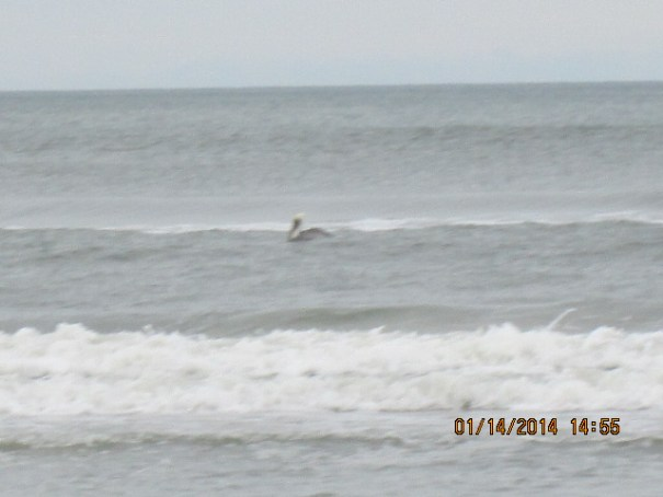 Solitary Pelican in the surf.