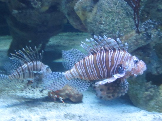 Lionfish, not native but from the Indian Ocean, they think freighters brought enough they are now breeding without predators.