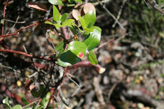 The Manzanita develops these bright red spots and eventually turns many of the leaves the bright red.