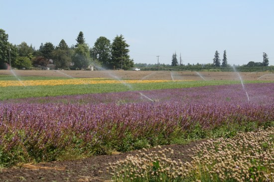 A crop of flowers getting ready for harvest.