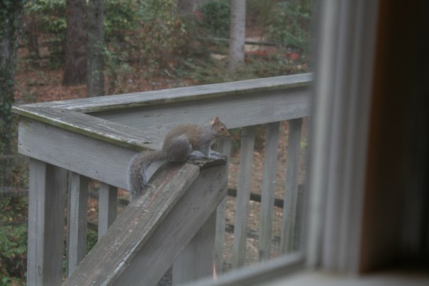 The squirrel goes after the bird seed next to the window.  The cats want him so bad.