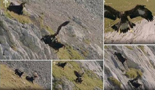 Δείτε την στιγμή όπου ένας αετός προσπαθεί να αρπάξει μια κατσίκα του βουνού. (Βίντεο)