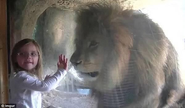 5χρόνο κορίτσι στέλνει ένα φιλάκι στο Λιοντάρι. Αυτό που θα ακολουθήσει όμως έκανε τον πατέρα της να αρπάξει την κάμερα!
