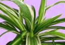 Blog: The Snake Plant