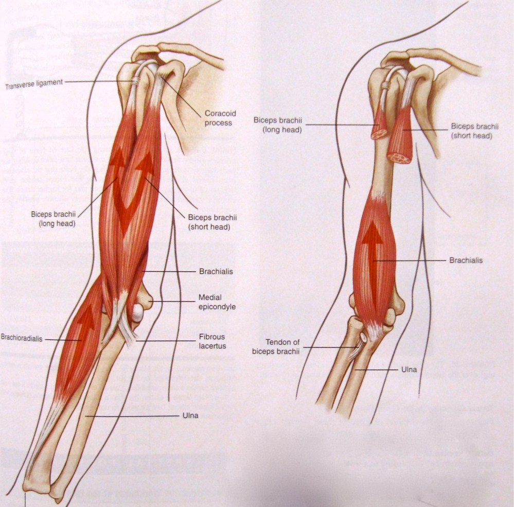 medium resolution of biceps brachii brachialis and brachioradialis