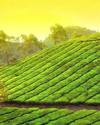 Munnar, Hilly Mountain And Kochi Package Tour