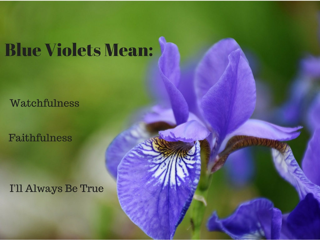 Flowers have meaning blue violet by abigail owen aowenbooks abigail owen can spin a supernatural tale with the best of them and blue violet book i of the svatura series only whets my appetite for more izmirmasajfo