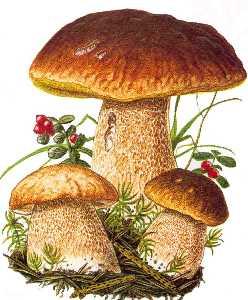 Risultati immagini per funghi porcini disegno