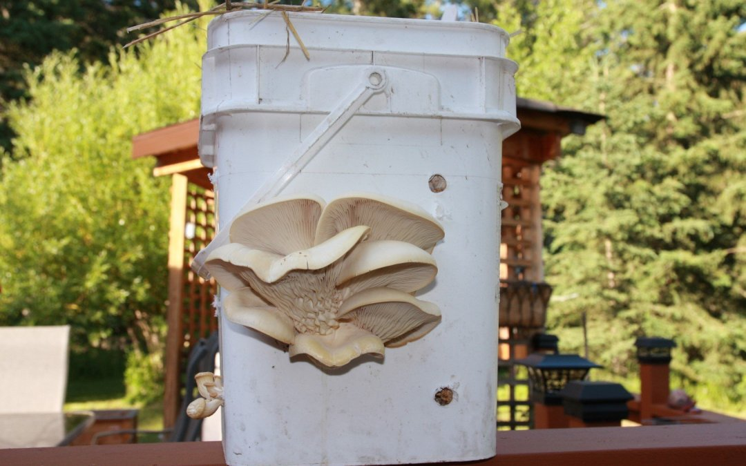 Wood Chips Buckets – Pearl Oyster