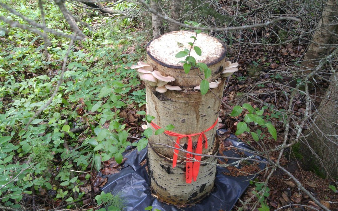 Grow mushrooms in your yard – workshop!