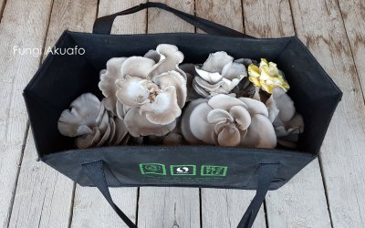 Fungi Greenhouse – Harvest