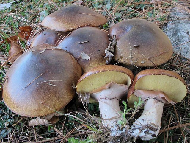 <em>Suillus luteus</em> group