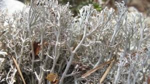 #171: Reindeer Lichen