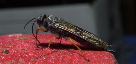 Sirex noctilio female