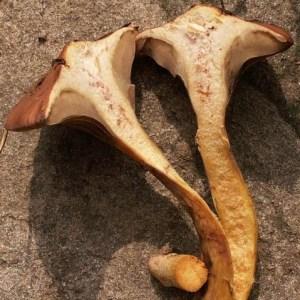 Chroogomphus rutilus sliced in half
