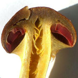 cortinarius semisanguineus cortina