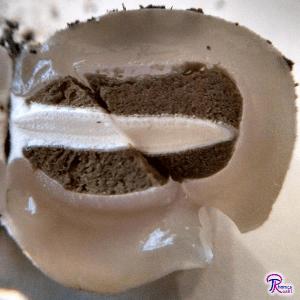 stinkhorn egg