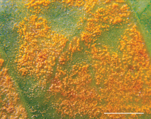 Coffee Rust close-up