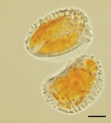 Hemileia vastatrix urediniopores