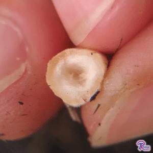 Gyroporus castaneus stipe