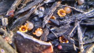 #122: <em>Sphaerobolus stellatus</em>, the Artillery Fungus