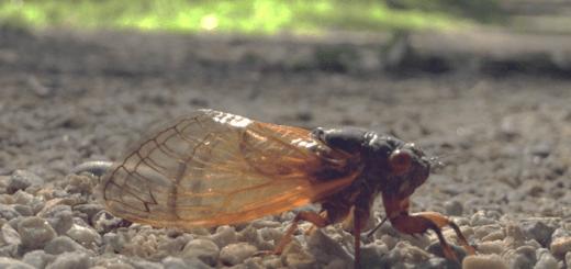 Massospora cicadina infected cicada