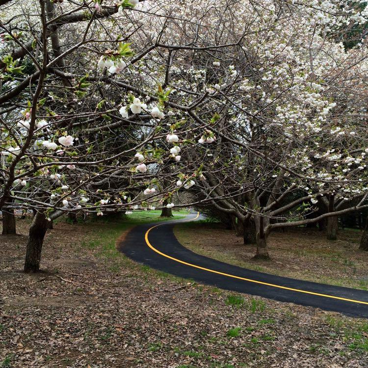 Meadowlark Connector Trail cherry trees in bloom Vienna Virginia