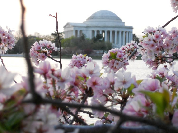 Cherry blossoms Jefferson Memorial McCoolTravel