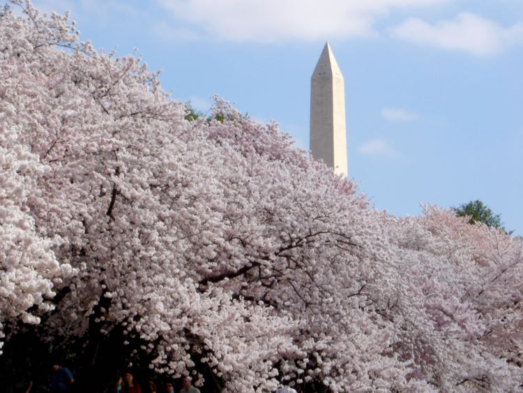 Washington Monument blossom view from paddle boat, Tidal Basin DC