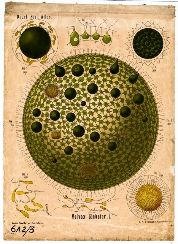 Volvox Algae Cell Funk