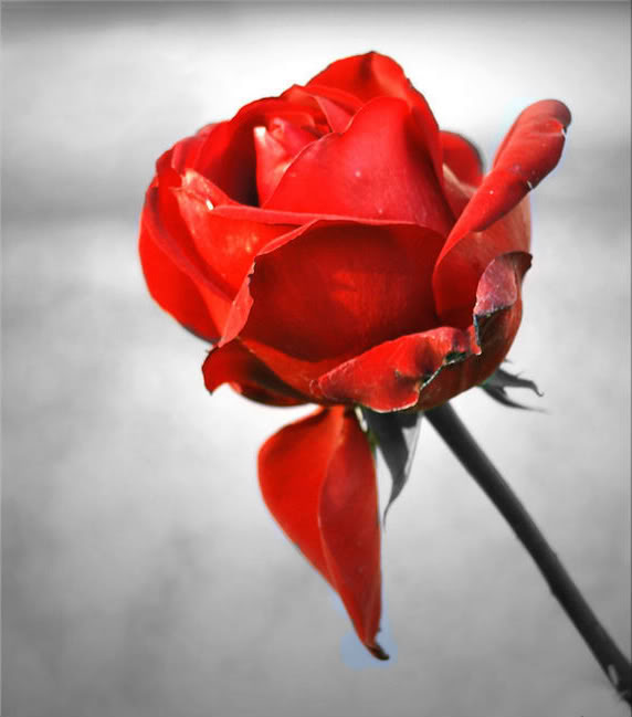 Best Love Wallpaper With Lovely Quotes 30 Mind Blowing Collection Of Red Rose Pictures