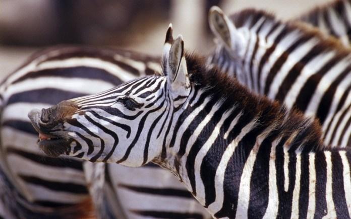 african-animals (8)