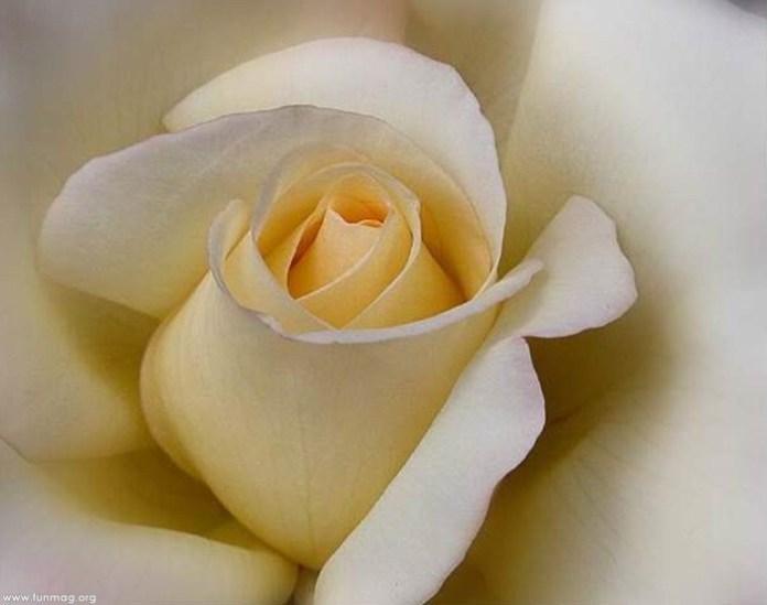 beautiful-roses-04