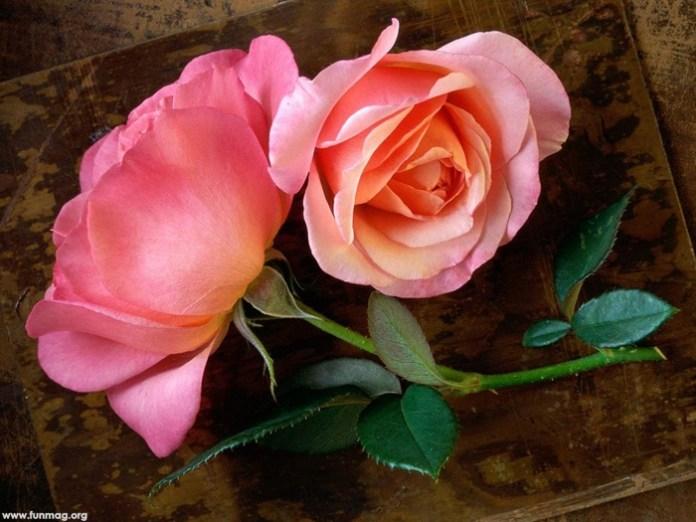 beautiful-roses-09