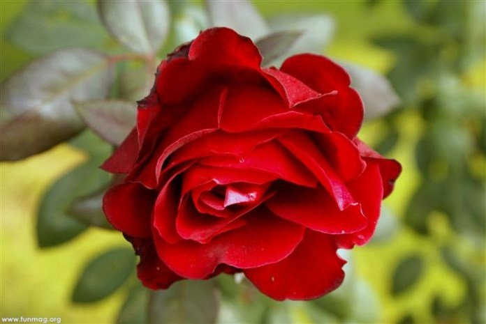 red-roses-03