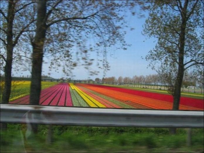 tulips-field- (3)