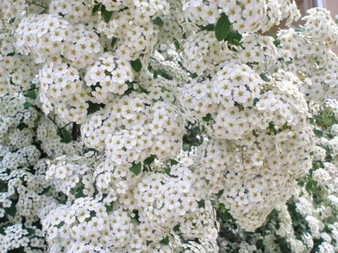 white-flowers-06