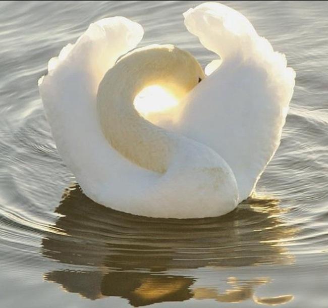 beautiful-white-swan- (1)