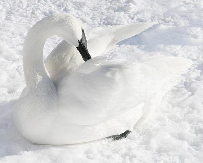beautiful-white-swan- (3)