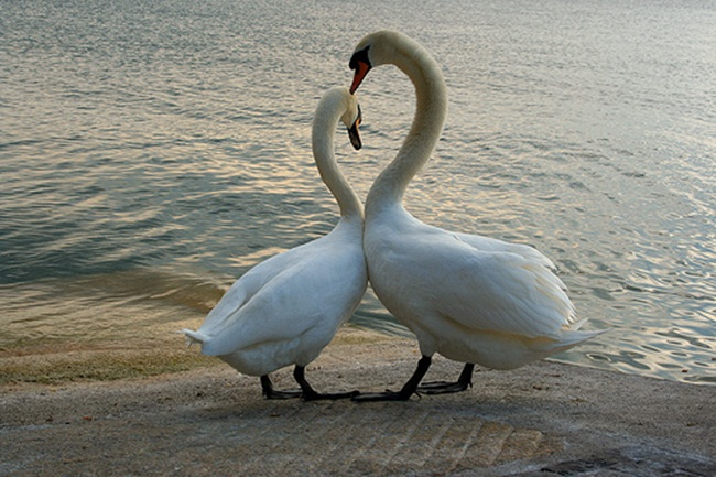pictures-of-swan- (1)